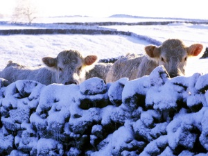 cows_in_snow