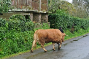 Cows have the right of way in a small village along The Way