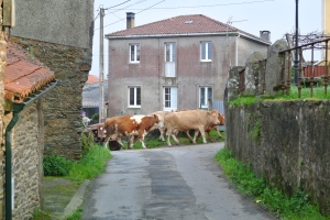 Cows on a village street, O Pedrouzo