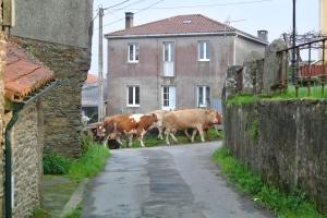 Cows on a village street, O Pedrouzo