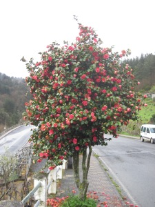 Flower tree in Portomarin