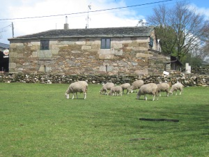 Sheep----le.