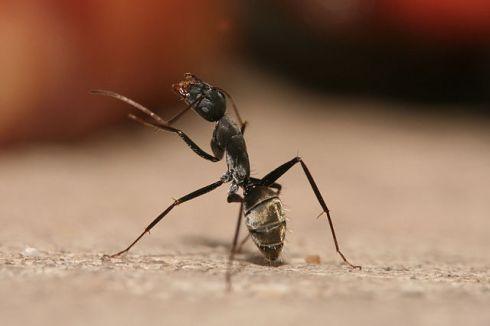 640px-Camponotus_flavomarginatus_ant
