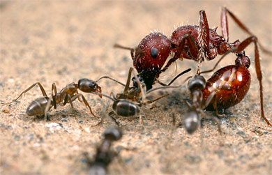 ant-fight2