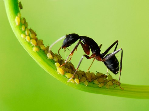 Ants_aphids