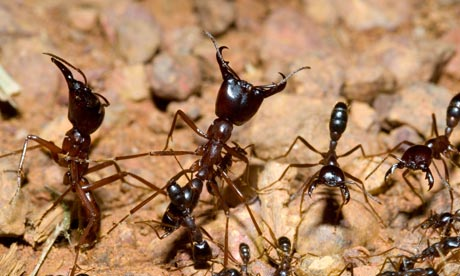 Army ants respond to predatory chimpanzees by streaming to the surface to defend their colony