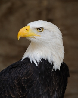 bald_eagle_portrait
